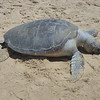 A sea turtle that never made it back to the ocean after laying eggs