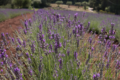 High Country lavendar fields. Begues, Catalonia Spain. Photo by Weldon Weaver. June 2019.