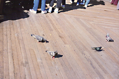 San Francisco - birds on dock