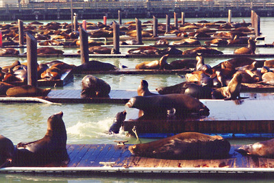 San Francisco Bay Seals