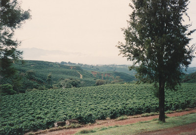 One of many coffee plantations