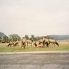 Field of elk