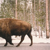 Bison sharing the road with us
