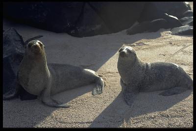 Sea Lion Galapagos, Ecuador