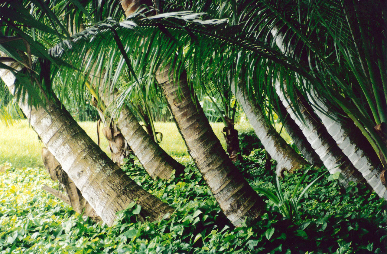 Kauai: A view of leaning palm trees in the Allerton Botanical Gardens.