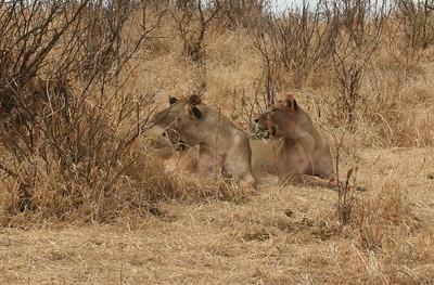 Lions watching something