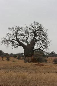 Termite mound next to Baobab tree