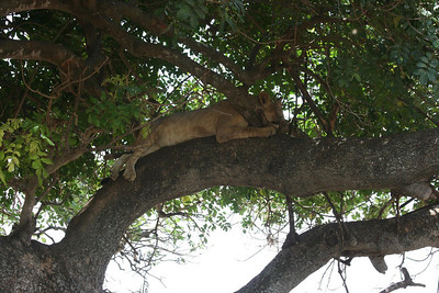 Lion napping in the shade during the heat of the day