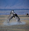 battling zebra