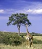 giraffe on the Masai Mara