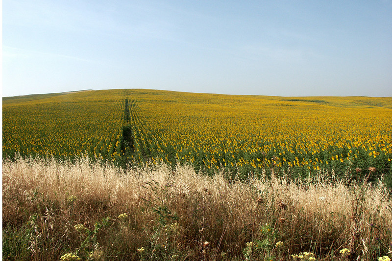 Field of sunflowers between Seville and Gibraltar.