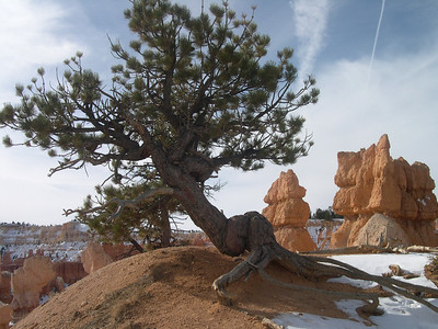 Tree in Bryce Canyon NV USA