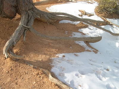 Tree roots in Bryce Canyon NV USA
