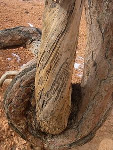 Twisted tree at Bryce Canyon NV USA