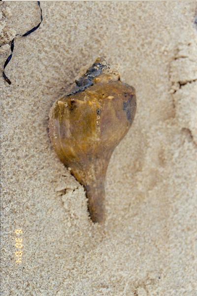 Virginia Beach shell