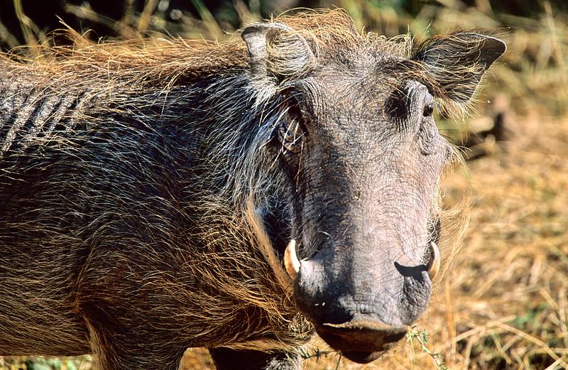 Warthog.