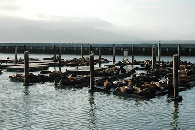 39號碼頭外的海獅群,已成為著名景點