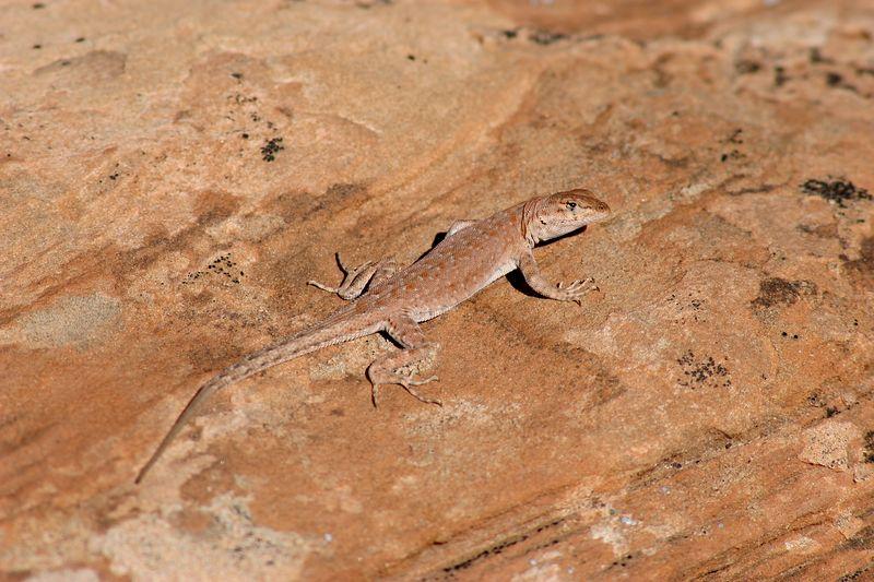 Utah, Arches National Park, Lizard