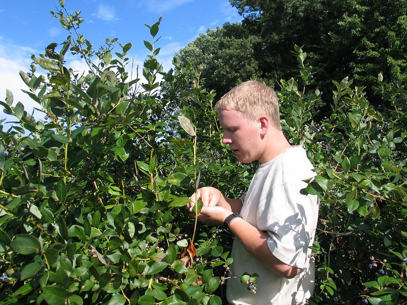 Blueberry picking in Jennison
