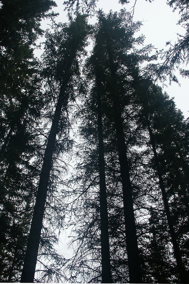 AROUND BANFF: Towering trees.