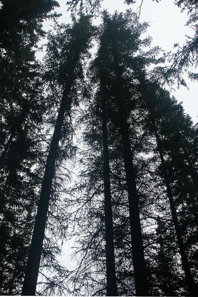 AROUND BANFF: Towering trees.