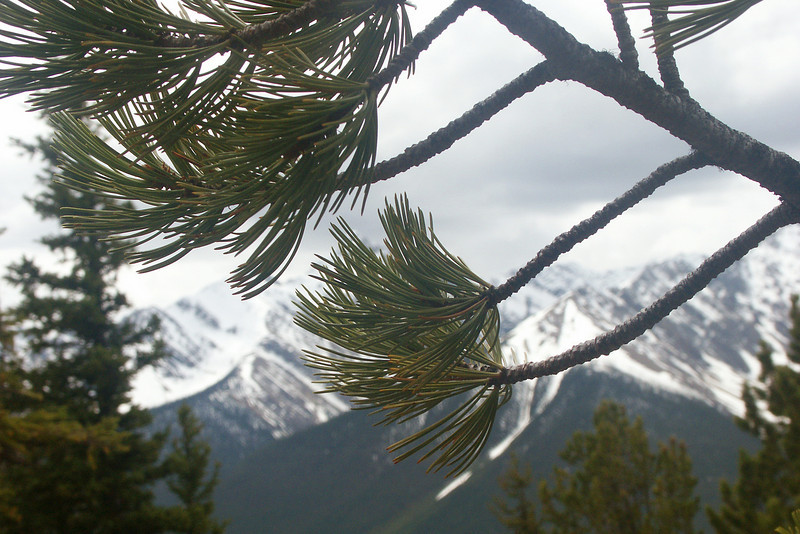 AROUND BANFF: Rockies through pine needles.