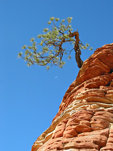 Zion Hoodoo tree and moon