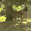 Deer in yard - one block from down town - Ashland, OR
