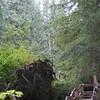 Walkway at Giant Cedars Trail - Mt Revelstoke NP