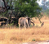 This big boy was an exciting antelope sighting.  The eland is the largest of the antelope species.