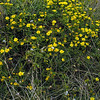 Phillip Island wild flowers