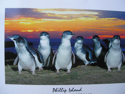 Fairy Penguins from Post Card