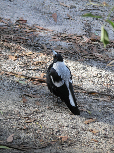Female Australian Magpie (grey feathers)