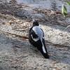 Female Australian Magpie (grey feathers)