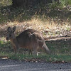 Roo at Kyneton Resort