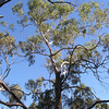 Eucalyptus in Black Hill Reserve