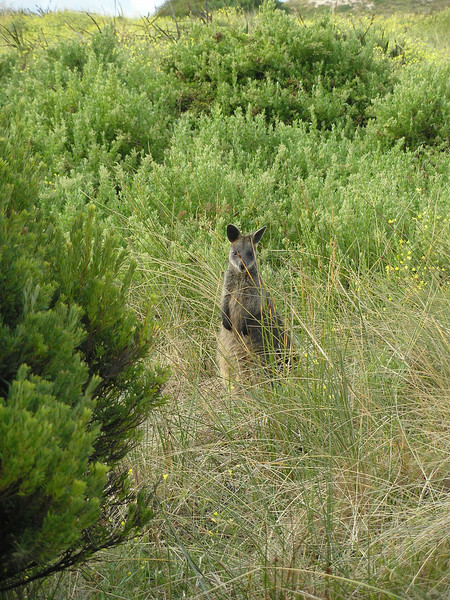 Port Fairy Wallabee