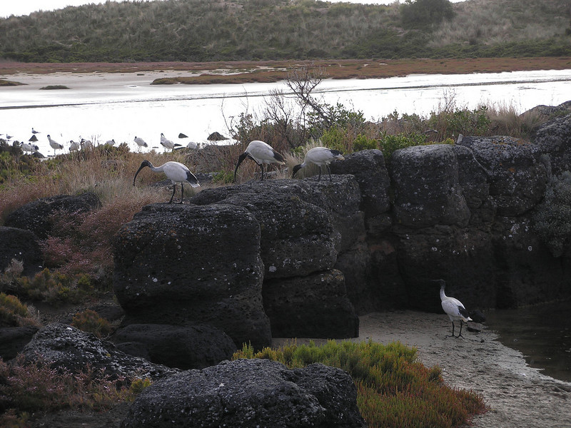 Port Fairy birds