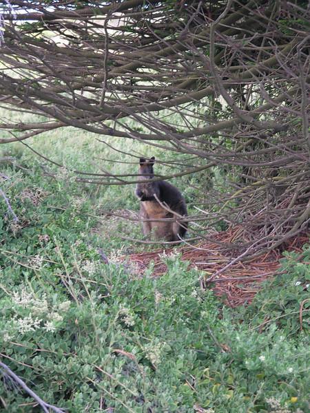 Wallabee in the brush