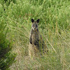 Port Fairy wallabee - Closer look