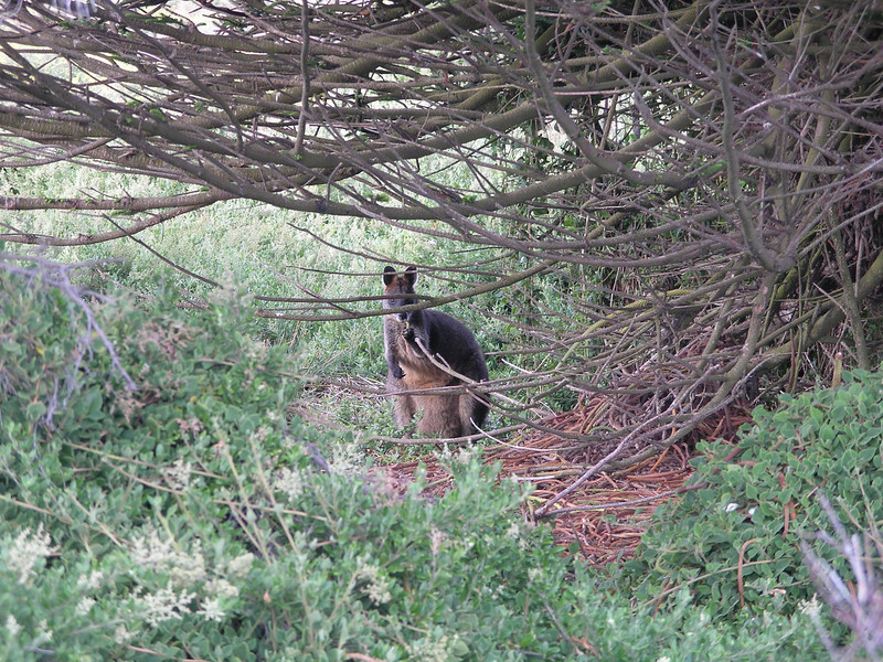 Closer look at wallabee in the brush