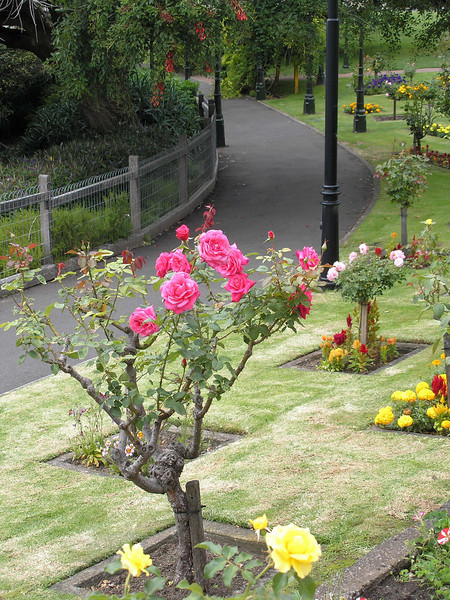 Roses at Mount Gambier