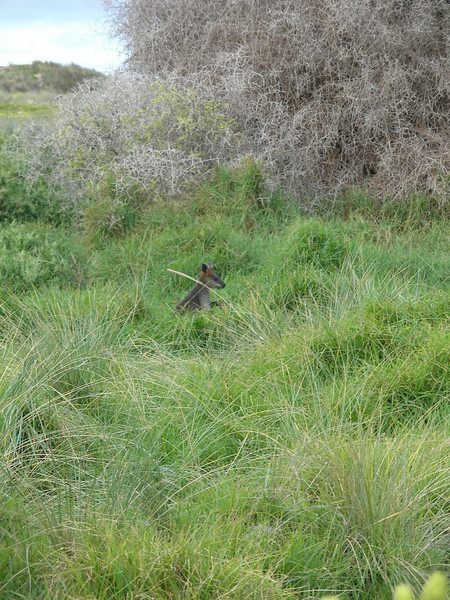 Another Port Fairy Wallabee