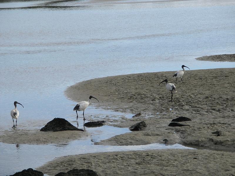Port Fairy birds