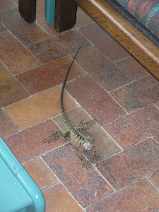 Dragon Lizard at Cedar Lake Resort