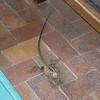 Dragon Lizard at Cedar Lake Resort