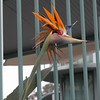 Typical Bird of Paradise plant