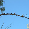 Magpies at Alice Springs