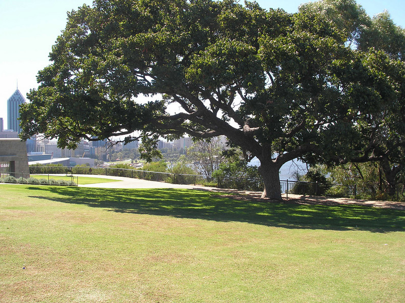 King's Park - Check the size of this tree