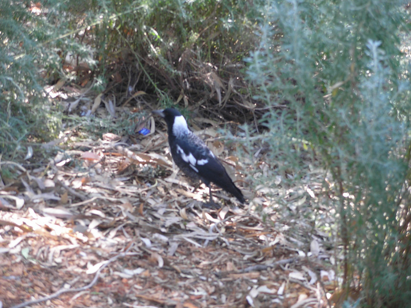 This Australian Magpie was being quite loud - Kings Park